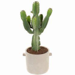 Euphorbia ingens CAN18