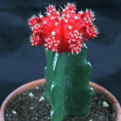 Cactus Gymnocalycium mih. Japan