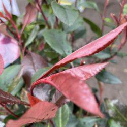 Photinia Fras. Little Red Robin