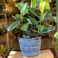 Ficus Elastica Robusta (Rubber Plant)