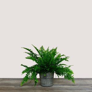 Nephrolepis Exaltata (Boston Fern)