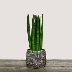 Sansevieria Cylindrica Straight (Cylindrical Snake Plant)