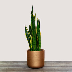 Sansevieria Trifasciata (Mother In-Laws Tongue)