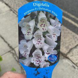 Digitalis White