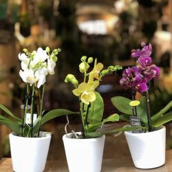 Phal. multi miniflora 3t. 15+
