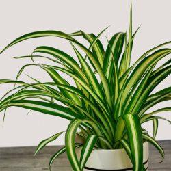 Chlorophytun Comosum (Spider Plant)