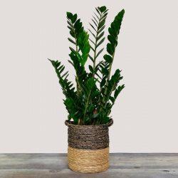 Zamioculcas (ZZ Plant)