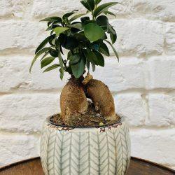 Ficus Micr. Ginseng – Ficus Ginseng
