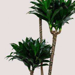 Dracaena Compacta (Corn Plant)