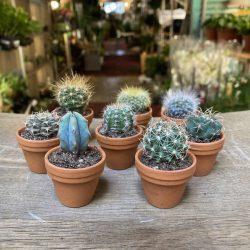 Cactus Extra