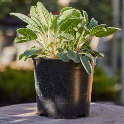 Salvia Officinalis (Sage)