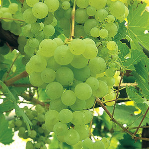 Grape – Green – Vitis Lakemount grafted