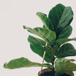 Ficus Lyrata Bambino (Dwarf Fiddle Leaf Fig)
