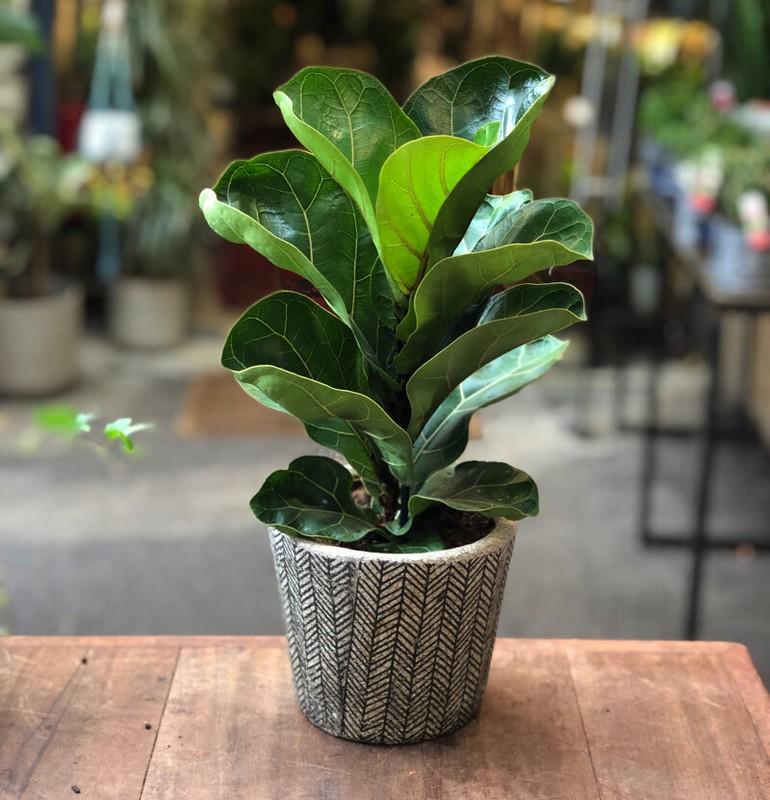 Fiddle Leaf Fig Houseplant by Gardening Direct 12cm Pot