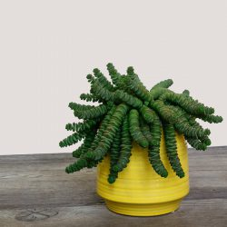 Crassula Marnieriana – Hottentot (Jade Necklace)