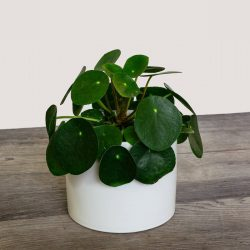 Pilea Peperomoides (Chinese Money Plant)