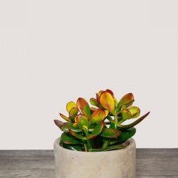 Crassula Ovata Sunset (Jade Plant)