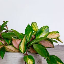 Hoya Carnosa Tricolor ( Wax Plant )