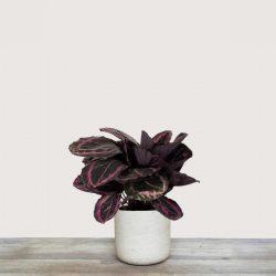 Calathea Roseopicta ( Calathea Dottie )