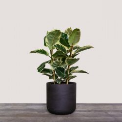 Ficus El. Tineke (Rubber Plant)