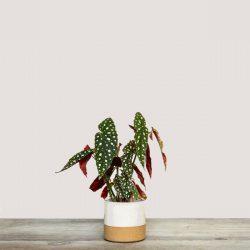 Begonia Maculata (Polka Dot Begonia)