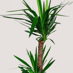 Yucca (Two Stem)