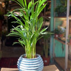 Areca ( Dypsis Lutescens)  'Feel Green'