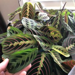 Maranta Leu Fascinator (Prayer Plant)