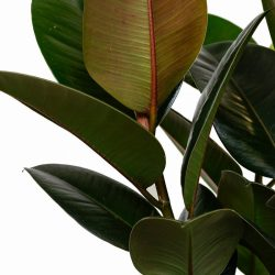 Ficus Elastica Melany 3 Stem (Rubber Plant)