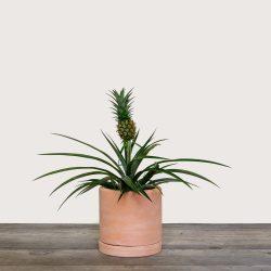 Ananas 'Corona' (Pineapple Plant)
