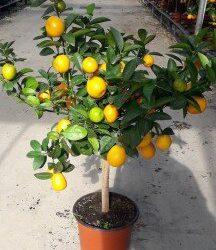 Citrus Kumquat Mini Std
