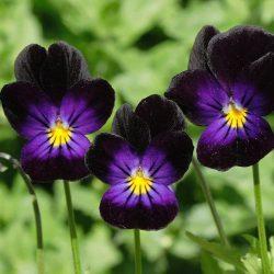 Violets – Bowles Black