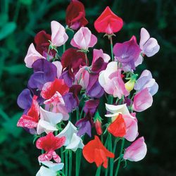 Sweet Peas – Mixed Heirloom Selection