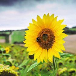 Sunflower – Giant Yellow Single