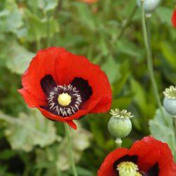 Poppies – Opium Mixture