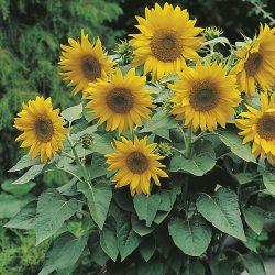Sunflower – Pacino Gold