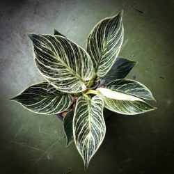 Philodendron White Measure