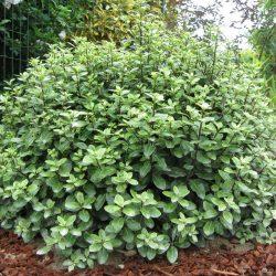 Pittosporum Tenuifolium Pom Pom