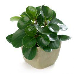 Peperomia Obtusifolia Green