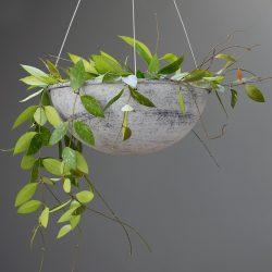 Hoya Carnosa 'Gracilis'