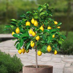 Citrus Lemon Mini