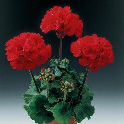 Geranium Zonal Red