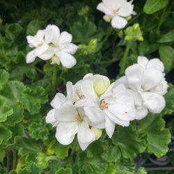 Geranium Zonal White