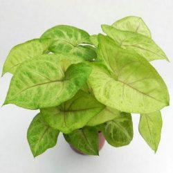 Syngonium Golden 'Feel Green'