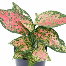 Aglaonema  'Star Spotted '