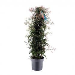 Jasminum polyanthum Pyramid 500+
