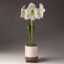 Amaryllis (Hipp.) White 2+ Extra