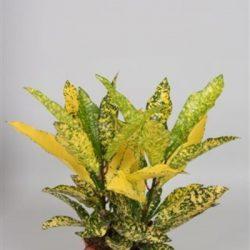 Codiaeum var. Acubifolia