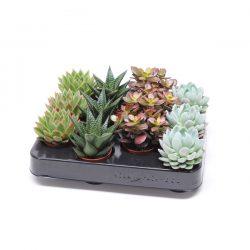 Succulents Mix xxl