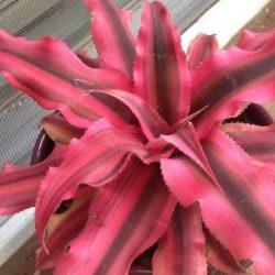 Cryptanthus biv. Red Star